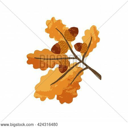Gold Autumn Leaves And Acorns On Oak Tree Branch. Sprig With Fall Leaf And Nuts Of Quercus. Yellow S