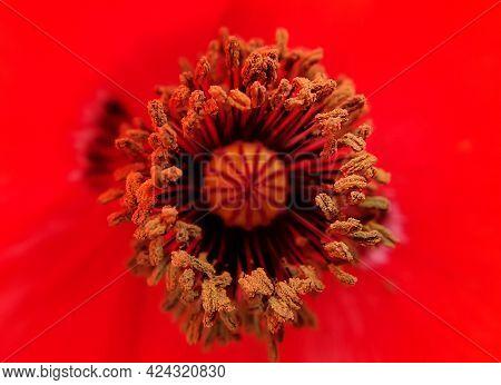 Macro Shot Of Stamen Of Common Poppy (papaver Rhoeas) Flower, Inside View Of Red Color Poppy Flower