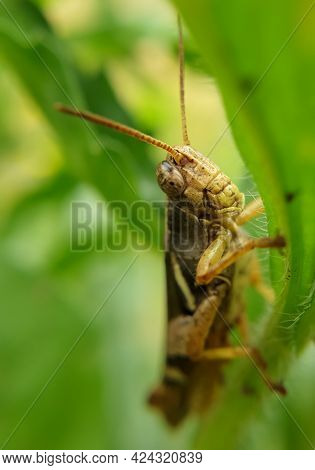 Macro Shot Of Brown Color Grasshopper Insect (cricket Insect)