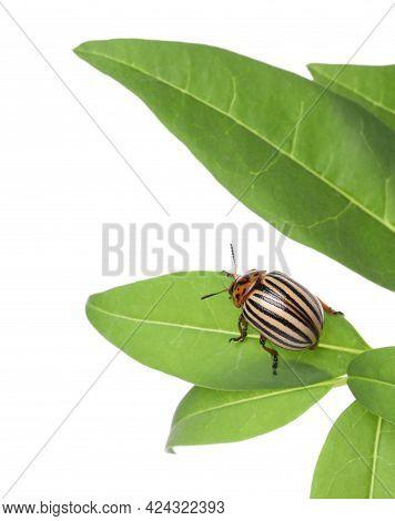 Colorado Potato Beetle On Green Plant Against White Background