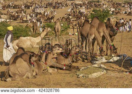 Pushkar, Rajasthan, India - November 6, 2008: Camels Crowd The Annual Pushkar Fair In Rajasthan, Ind