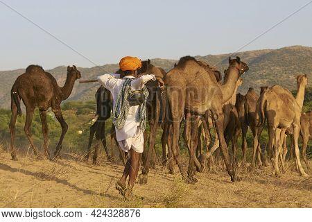 Pushkar, Rajasthan, India - November 6, 2008: Camel Herder Arriving At The Annual Pushkar Fair In Ra