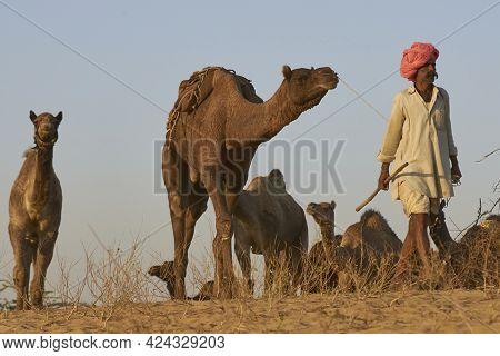 Pushkar, Rajasthan, India - November 8, 2008: Camel Herder Arriving At The Annual Pushkar Fair In Ra