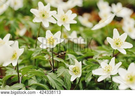 White Flowers Of Anemone Nemorosa In The Forest, Small Depth Of Focus. Anemonoides Nemorosa Or Wood