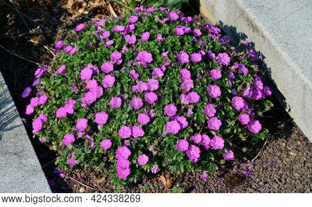 Is A Low Growing Variety, Much Loved Because Of Its Bright Reddish Purple Coloured Flowers. This Var