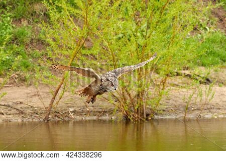 Wild Eagle Owl, The Bird Of Prey Flies With Spread Wings Over A Green Lake. Looking For Prey In The