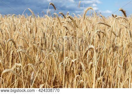 Scenic Dramatic Landscape Of Ripe Golden Organic Wheat Stalk Field Against Dark Stormy Rainy Overcas