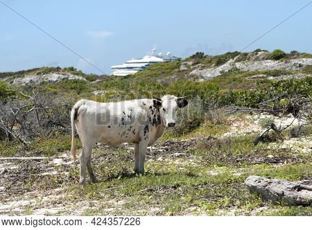 The View Of A Freely Roaming Bull On Grand Turk Island With A Cruise Ship In A Background (turks And