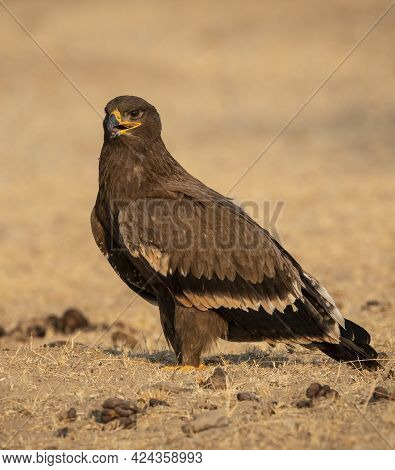 Steppe Eagle Or Aquila Nipalensis Portrait Or Closeup At Jorbeer Conservation Reserve Or Dumping Yar