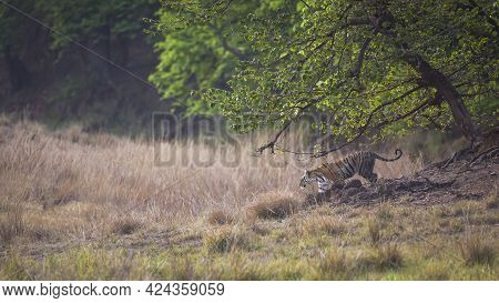 Wild Bengal Tiger On Stroll In Open Grass Field Or Natural Scenic Grassland Landscape At Kanha Natio