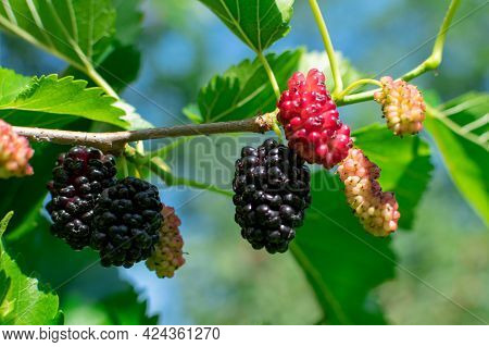 Ripe Mulberry On A Branch With Leaves On A Blurred Background. Delicious Juicy Mulberry Fruit. Place