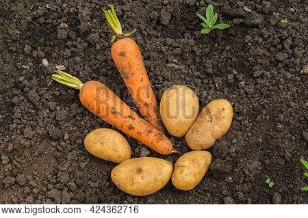 Fresh Unwashed Potatoes And Two Carrots Are Lying On The Ground In A Field. The Harvest Of Fresh Veg