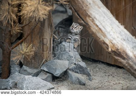 Amur Forest Cat (prionailurus Felis Bengalensis Euptilura), The Far Eastern Forest Cat Is A Northern
