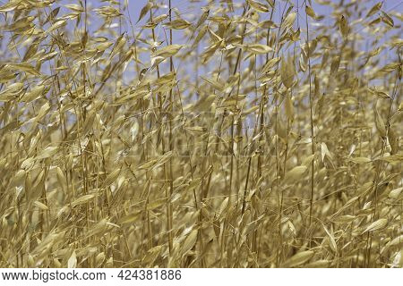 Abstract Plant Background Of Dry Yellow Stalks Of Grass Closeup