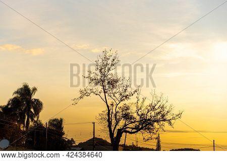 Platanus × Hispanica Tree In Contrast To Dramatic Sunset Sky