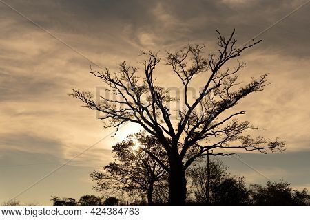Enterolobium Contorstisiliquum Tree Silhouette In Natural Farms Area.