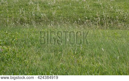 Cattle Pasture Field Cultivated With Grasses. Production And Breeding Area In Southern Brazil. Farm