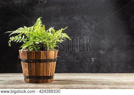 Athyrium Filix-femina, The Lady Fern Or Common Lady-fern In Wooden Pot, Athiryaceae Family.