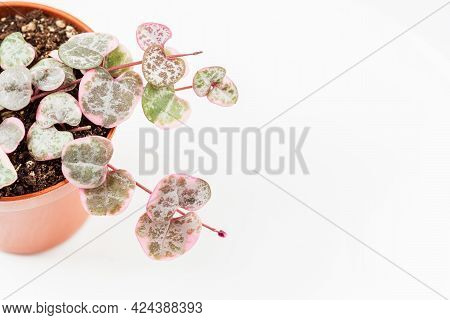 Ceropegia Woodii And Variegated. Young String Of Hearts Plant In Small Pot Over White Background. Ro