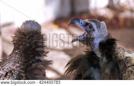 Portrait Big Griff Black Aegypius Monachus With Open Beak Closeup. Large Raptorial Bird Also Known A