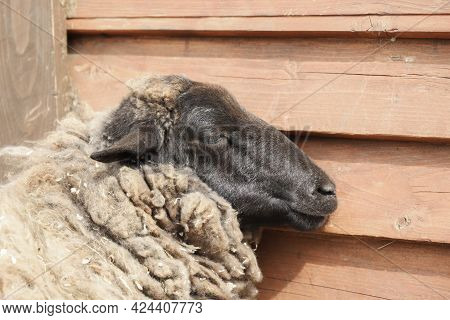 Lazy Sheep Slumber Next To The Wall On A Sunny Day