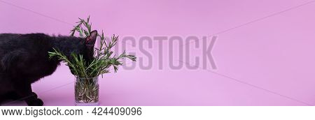 Horizontal Banner With Black Cat Smelling Rosemary In Glass In Front Of Pink Background. Copy Space