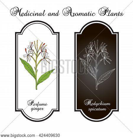 Perfume Ginger Hedychium , Medicinal Plant. Hand Drawn Vector Illustration