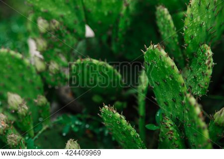 A Green Cactus Grows In The Garden. Juicy Cactus With Flower Buds. Gardening. Prickly Exotic Plant.