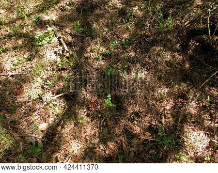 Soil In The Forest Among Coniferous Trees. Wallpaper, Background. Dry Coniferous Needles And Cones.