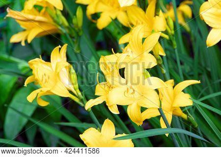 Yellow Hemerocallis. Yellow Day Lily. Gardening Spring Flowers.blooming Lily.