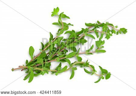 Oregano Or Marjoram Leaves Isolated On White Background With Clipping Path And Full Depth Of Field.