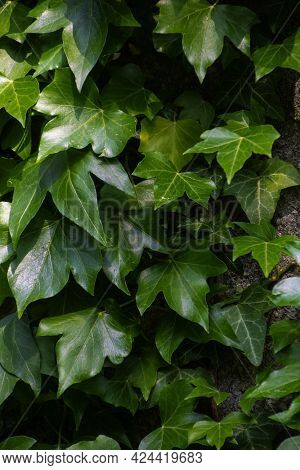 Natural Green Background From Hedera Helix. Closeup Of Hedera Helix Ivy Green Leaves.