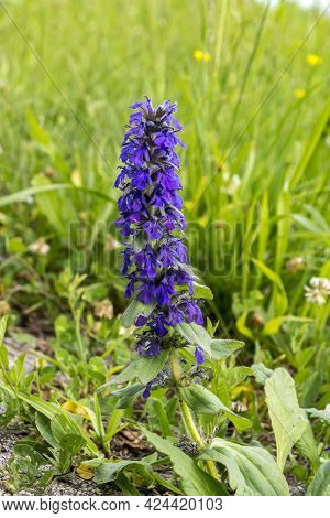 Common Tendon [ajuga Genevensis] On The Ditch Bank.