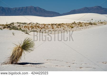 Windswept Soaptree Yucca Plant In The Desert Of White Sands National Park In New Mexico