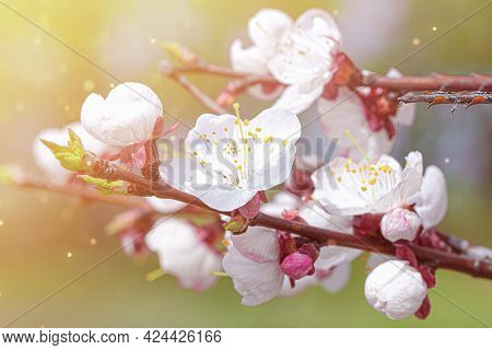 Cherry Blossom Branch In The Park On A Sunny Spring Day. Bokeh, Selective Soft Focus, Blurred Effect