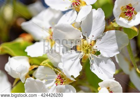 A Branch Of A Blooming Apple Tree In The Park On A Sunny Spring Day. Selective Soft Focus, Close Up.