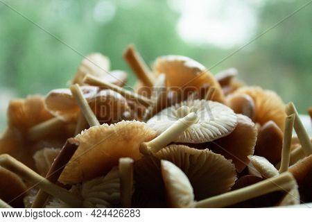 Mushrooms Close-up. Honey Mushrooms Collected. A Bunch Of Mushrooms. Mushroom Slide.