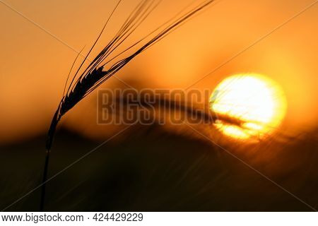 Sunset In The Wheat Field, Beautiful Bright Color. Rural Scene Under The Sunlight