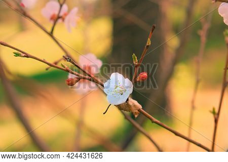 Flowering Apricot Tree And Apricot Flowers, Springtime