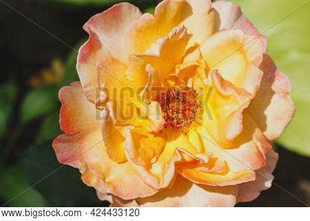 Closed Up An Orange Rose In A Garden