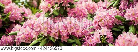 Banner. Beautiful Blooming Pink Azalea - Flowering Shrubs In The Genus Rhododendron. Pink, Summer Fl