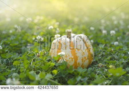 Autumn Season. Pumpkin In Blooming Clover In The Autumn Garden. Pumpkin Harvest.farmed Organic Pure