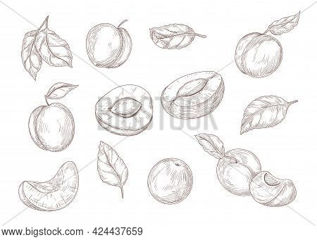 Set Of Engraving Monochrome Drawings Of Apricot. Flat Vector Fruit Illustration. Collection Of Vinta