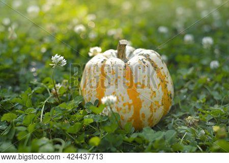 Autumn Season. Pumpkin In Blooming Clover . Pumpkin Harvest.farmed Organic Pure Vegetables. Growing