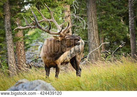 Elk Male In Rutting Season In Yellowstone National Park