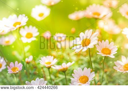 Bright summer background with white daisies. Spring or summer nature scene with blooming white daisies in sun glare. Soft focus.