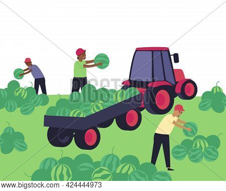 Harvesting Watermelons At The Farm. Men Collect Watermelons In A Tractor Cart. Festival Of Watermelo