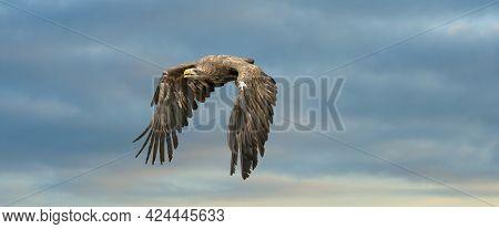 European Sea Eagle Flying In An Impressive Blue And White Sky. Bird Of Prey In Flight. Flying Birds