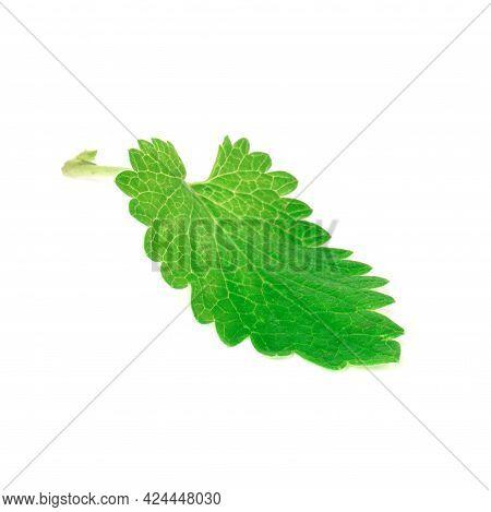 Fresh Lemon Balm Leaves Isolated On White Background. Lemon Balm Is A Medicinal Plant