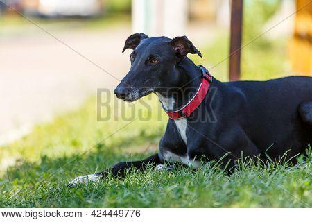 Black Adult Hreyhound Lying On The Green Grass